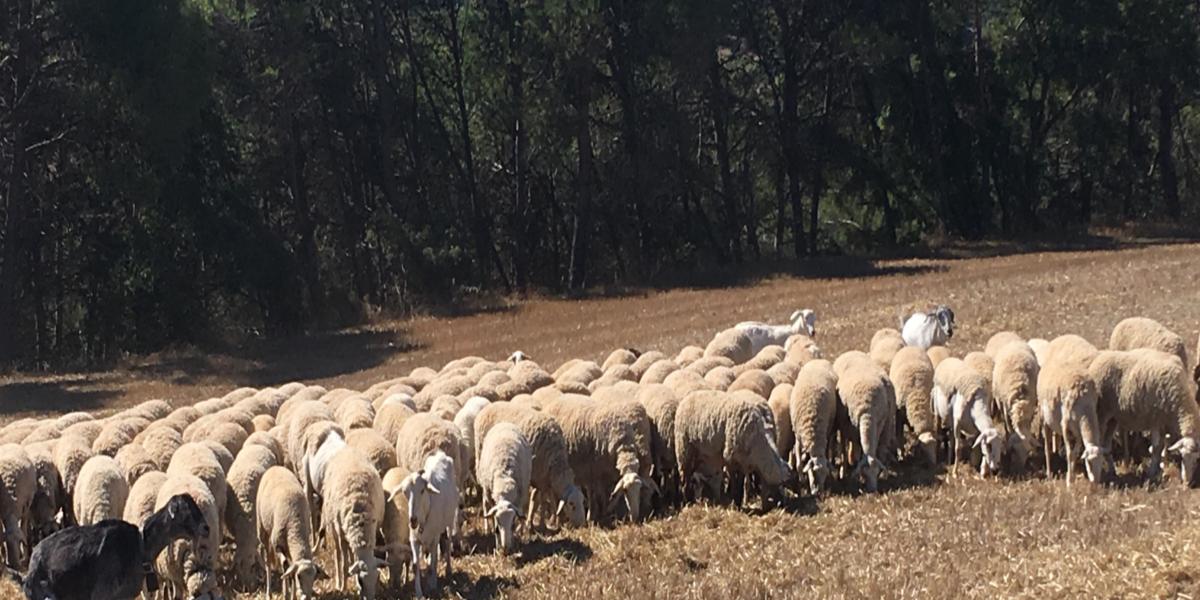 Cal Serrats, carn de xai criat en plena natura