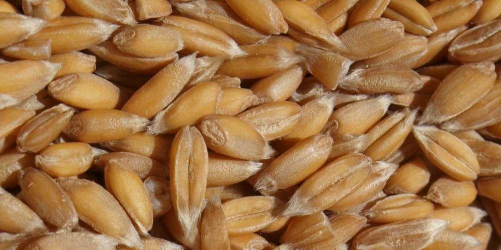 Pep Mestre Agricultura Ecològica: cereals i llegums bons per a la salut i per a l'entorn